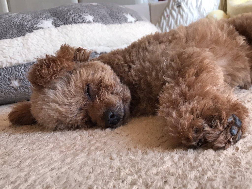 ここあ On Twitter みなさん おやすみなさい トイプードル 犬