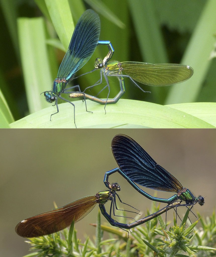 First, an @IapetusDTP project co-supervised by @TomAugust85 & David Shuker combining a citizen science initiative with field experiments to test the hypothesis that reproductive character displacement has driven divergence between UK demoiselle damselflies https://www.findaphd.com/search/ProjectDetails.aspx?PJID=103552…