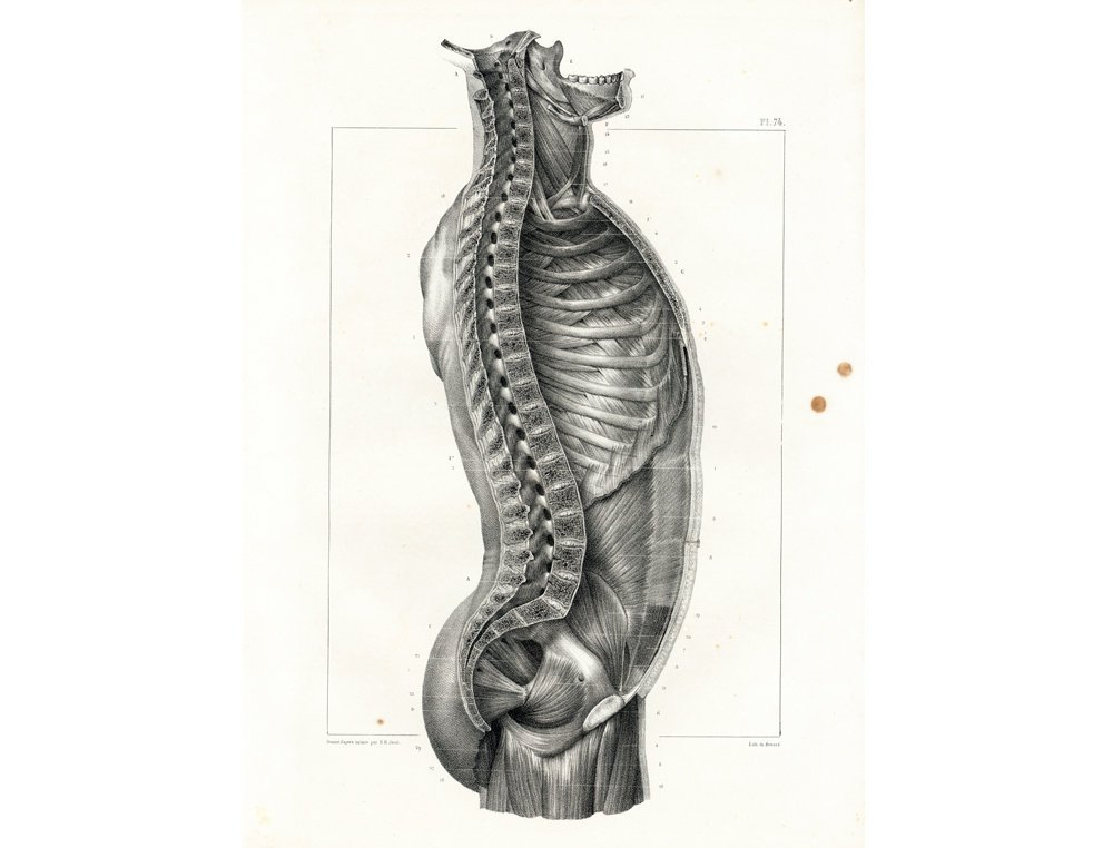 Sofrenchvintage On Twitter 1831 Antique Thorax Print Vertebral