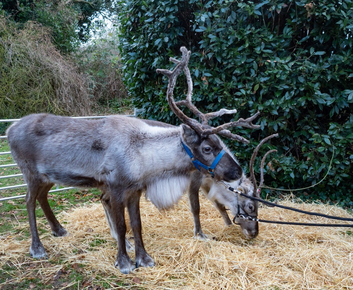 A lovely day @GlastonburyAbbe yesterday. Santa and his reindeer. @GlastonburyFM @SomersetLife @VisitSomerset @SomersetCool #glastonbury #somerset #reindeer<br>http://pic.twitter.com/iZnxHZeU6s