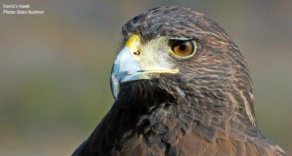 Audubon Pennsylvania On Twitter The Strikingly Patterned Harris S