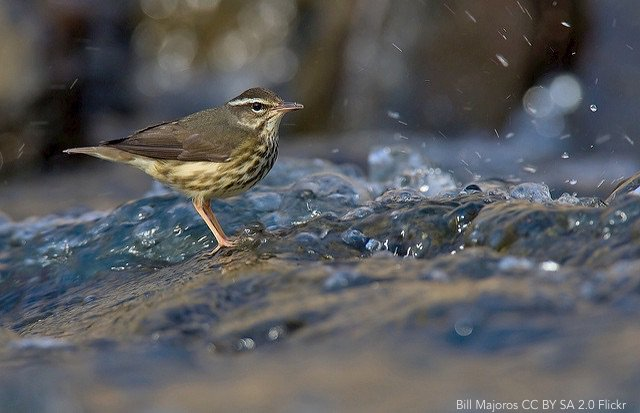Demographic characteristics of an avian predator, Louisiana Waterthrush (Parkesia motacilla), in response to its aquatic prey in a Central Appalachian USA watershed impacted by shale gas development ow.ly/BvXf30mTkMW | @EBSCO | #ornithology