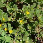 Edible succulents? Purslane (Portulaca oleracea) is a common succulent that grows easily in poor soils worldwide. #portulacaceae #succulents #herbs #plants #botany #flowers #portulaca #nature