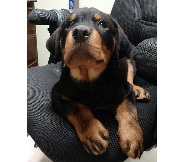 Today&#39;s Adorable Puppy is a #Rottweiler  #RottweilerPuppy #cutepuppies #adorablepuppies #BigBabyPups  #FridayFeeling <br>http://pic.twitter.com/Cve7aKGurk