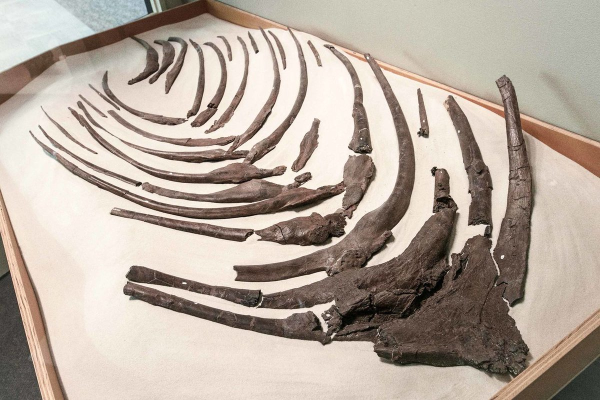 .@SUEtheTrexs gastral basket is the most complete among over 30 known T. rex specimens. It includes 26 of ~60 total gastral bones. #FossilFriday bit.ly/BiggerBetterSUE