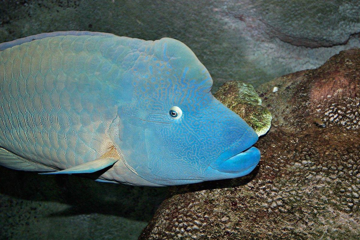 فيصــل البلــوشــي Pa Twitter سمكة نابليون أو شاحنة الموج والاسم العلمي لهذه السمكة Cheilinus Undulatus هي سمكة من عائلة سمك الرأس وهي من الأسماك الكبيرة التي تعيش بين الشعاب المرجانية في المحيط الهندي
