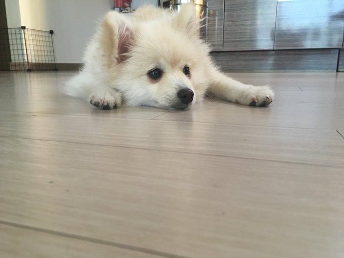 보일러를 키면 바닥에 착 붙는 이중모 강아지 사진