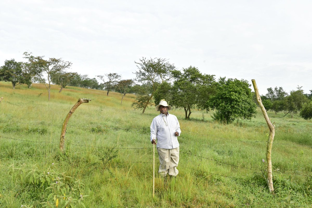 After four months of fallowing, there is a lush paddock on the Rwakitura farm and a herd has promptly been moved in. By enforcing this simple and minimal-cost method, the herd has ample pasture all year round.