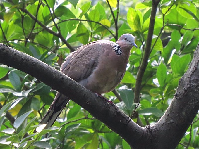 MT Dave Tanner @TarbatNess99 Spotted Dove (Spilopelia chinensis) from our last day in beautiful Taiwan #December6 Taipei Botanical Gardens @TaiwanBirding Photo