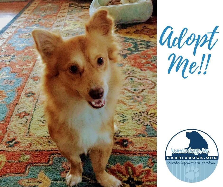 Barrio Dogs Inc On Twitter Chance Is A Beautiful Corgi Pomeranian Mix Weighs 13 Lbs Has Received All Of His Vaccinations Been Neutered Microchipped He Does Well With Other Dogs Loves