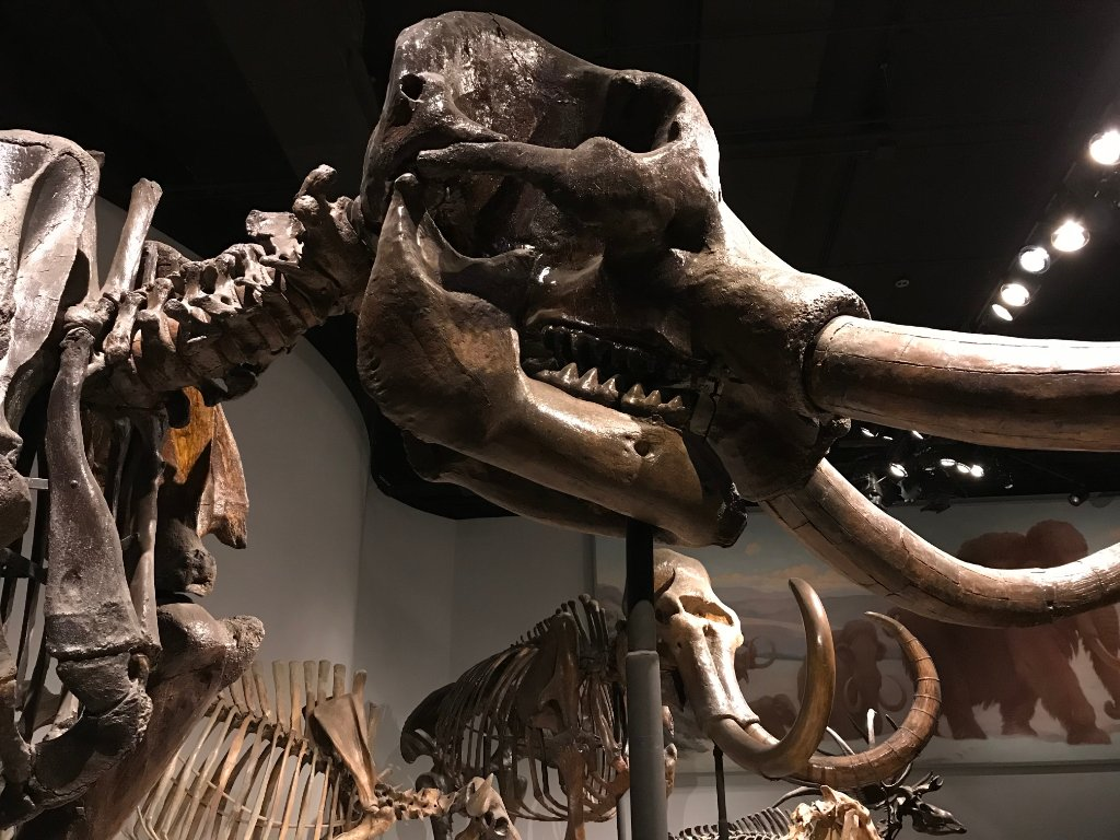 Mastodons and mammoths had different diets, which means they also had different teeth. Mastodons have high cusps whereas mammoths have flatter, ridged molars similar to modern-day elephants. 🐘