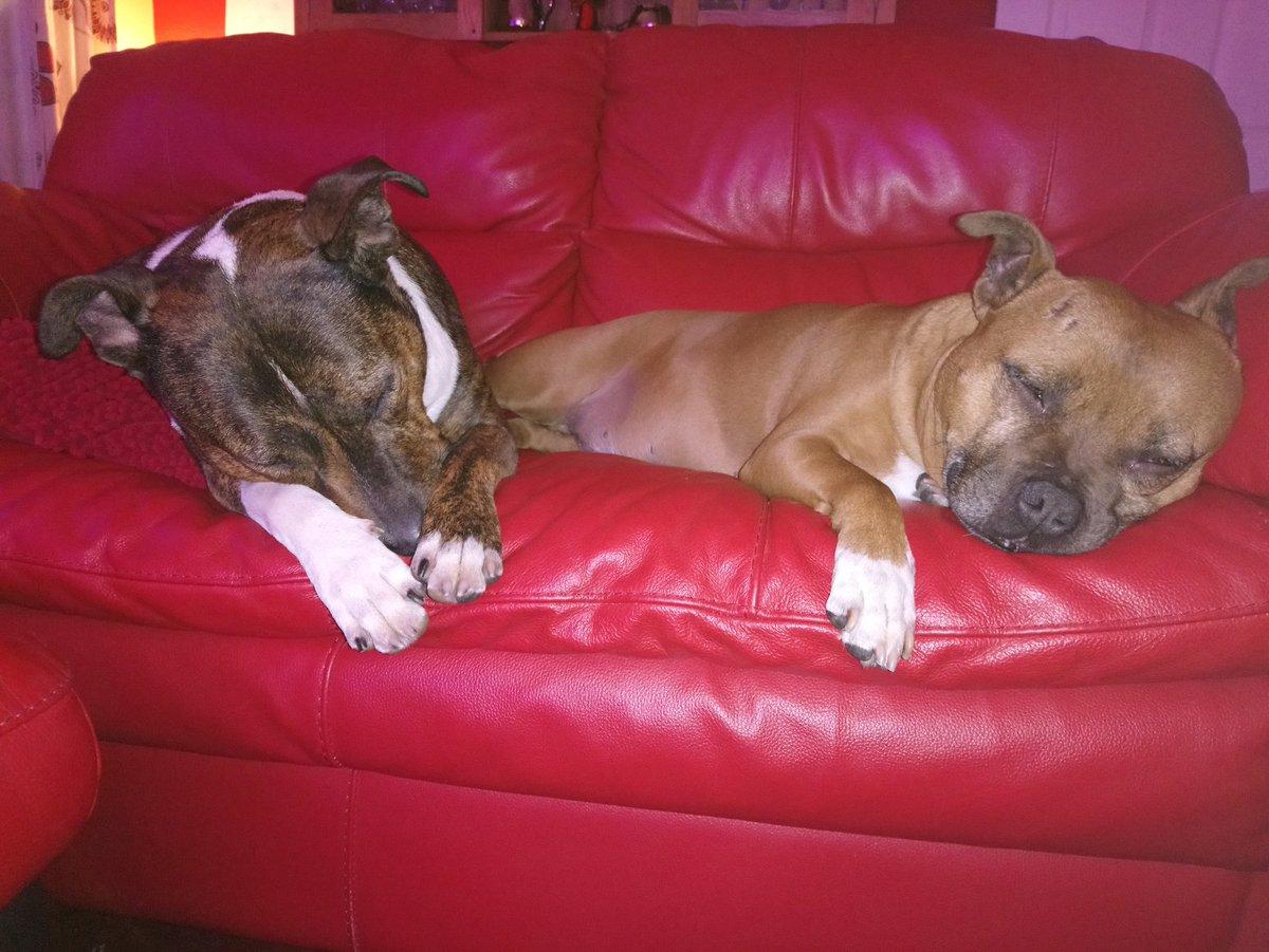 Aww butter wouldn&#39;t melt   Looks can be deceiving  #Staffie #staffies #doglovers #staffordshirebullterrier #bullterrier #bullbreed #DontBullyMyBreed #dogsarejoy #SleepingBeauty #SleepingBullies #StaffieSaturday #AdoptADog #doglovers<br>http://pic.twitter.com/XvtLoMLeII