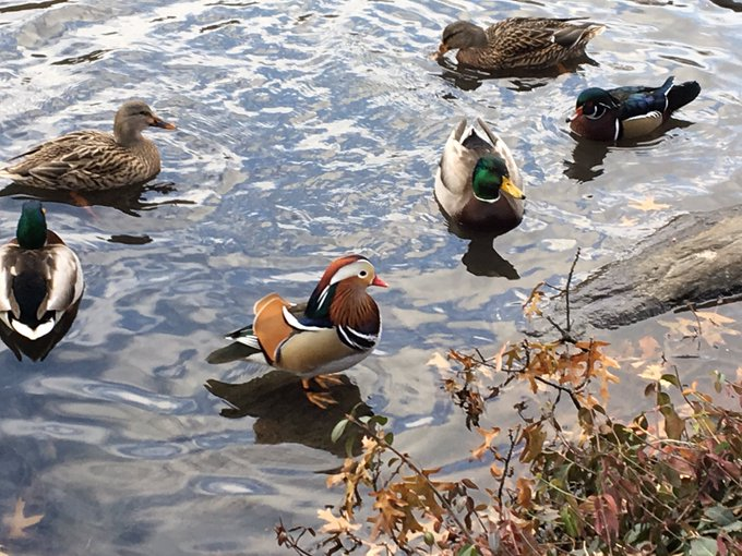 After several failed saw the Central Park duck! Fotoğraf