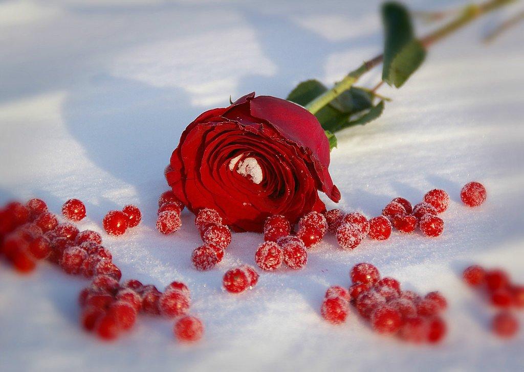 Открытки с розами на снегу, картинки заставку аву