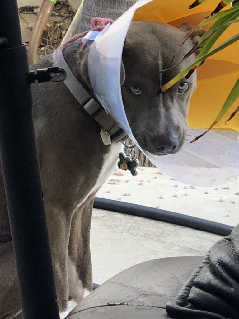 —-MISSING DOG—- 11 month old grey/brown/white Pitbull Boxer with a scar on the side of his mouth,  Last seen in Garden Grove with his plastic cone on, pls spread the word n help me find my baby Gibby  <br>http://pic.twitter.com/lEQPJvCiCe