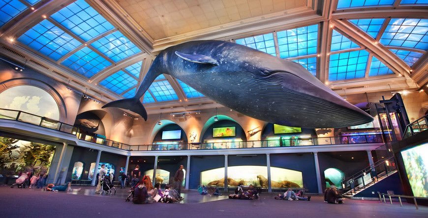 "American Museum of Natural History on Twitter: ""When did you first visit  the Museum & see the blue whale? It went on display in 1969 & was renovated  in 2003. (One key"