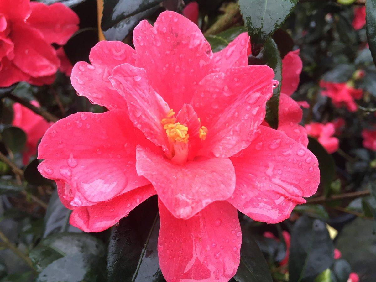 La sélection du jour en #camellia