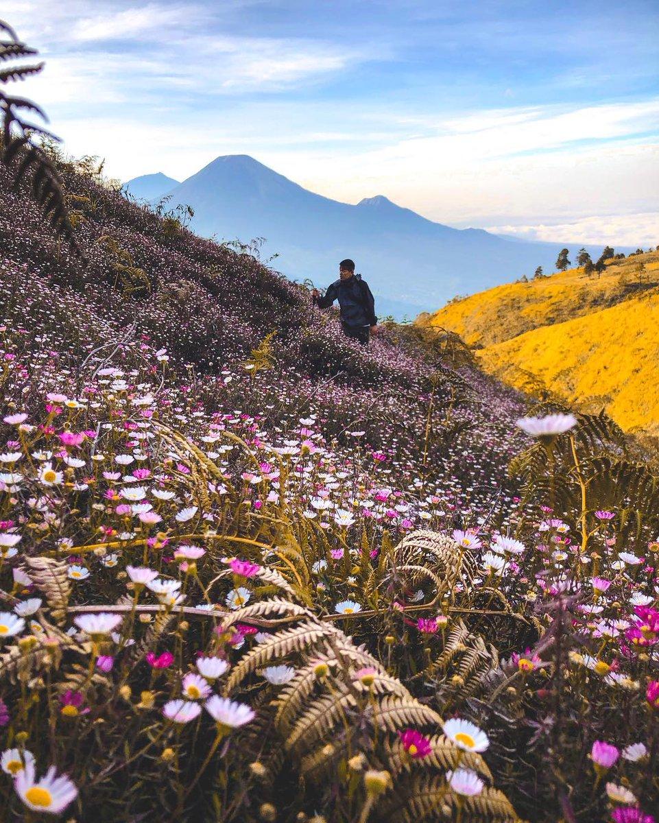 """Airy Indonesia on Twitter: """"Cantiknya pemandangan di Gunung Prau bikin hari  kamu ikut berbunga-bunga kan! 😍 Tetap ingat untuk menjaga alam ya, dengan  tidak memetik bunga edelweis. Yuk mulai rencanakan liburanmu untuk"""