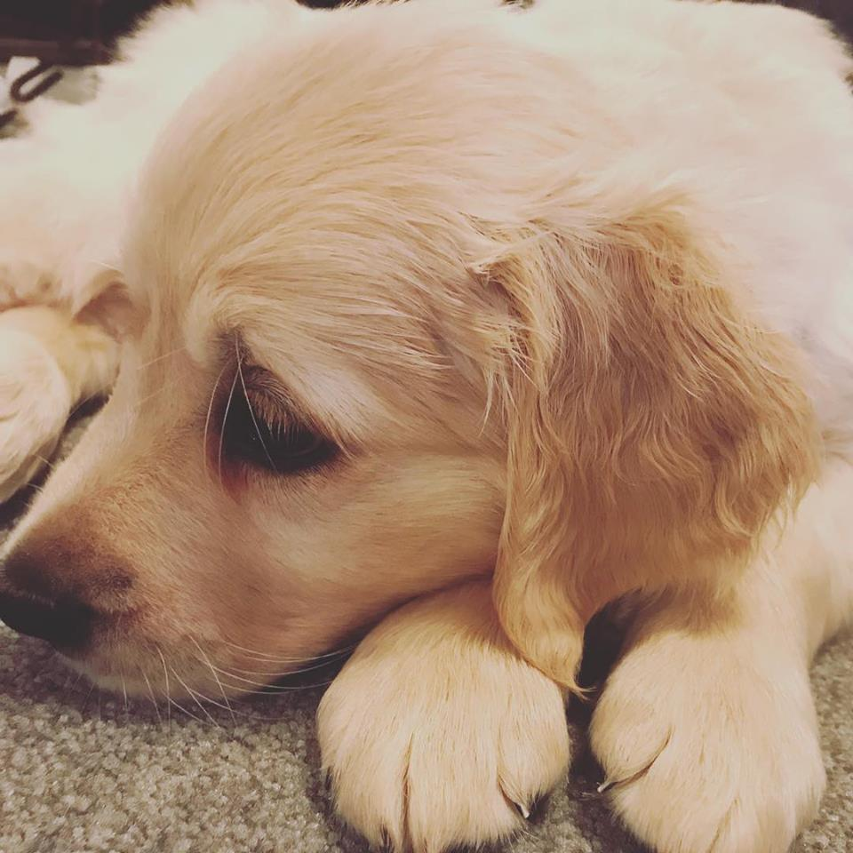 Someone in the office has just got a new puppy! @sianwhitlock #cutestpuppyever