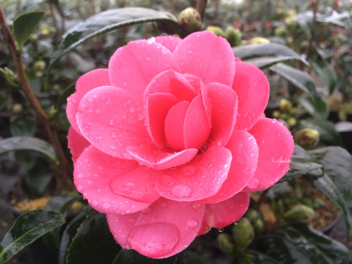 Camellia Spring Formal