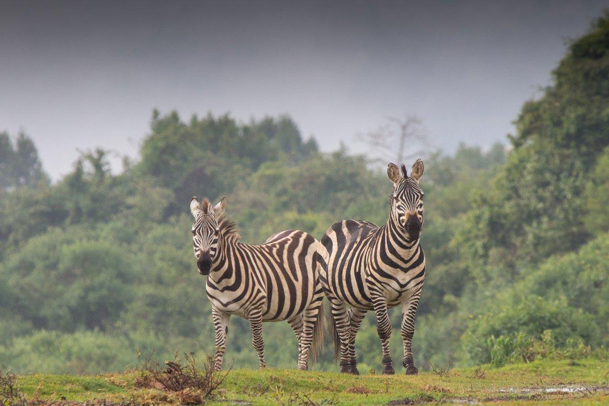This Thursday, 29/11, @DurBiol seminar: Prof. Dan Rubenstein (Princeton) on Horses, Zebras & Asses: What their Behavior Reveals about Environmental Patterns, Processes and Policy. L50, Psychology, 1300-1400 GMT. @beer_durham @DurhamBioSoc @CEGDurham @durham_uni