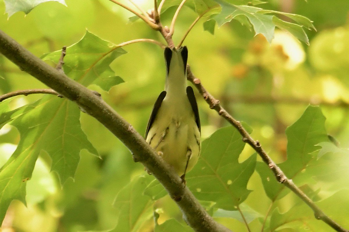 This is a classic if frustrating view of a fall warbler. But check this out: THE BIRD IS EMINENTLY IDENTIFIABLE in this pose. Bird ID guru Patrick Maurice explains in the Dec. 2018 issue of Birding, and birders everywhere are sharing tips at The @ABA Blog: tinyurl.com/ybnagsel