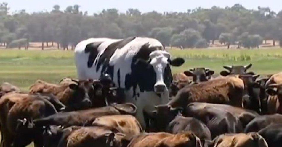Big cow on news