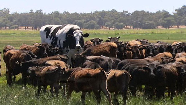 【デカすぎ】体高約2m、世界最大級の「巨大牛」に注目集まる 豪大きすぎたおかげで食肉加工場行きを免れたそう。農場のオーナーは「輸出プラントのチェーンに入るには大きすぎた」と語った。