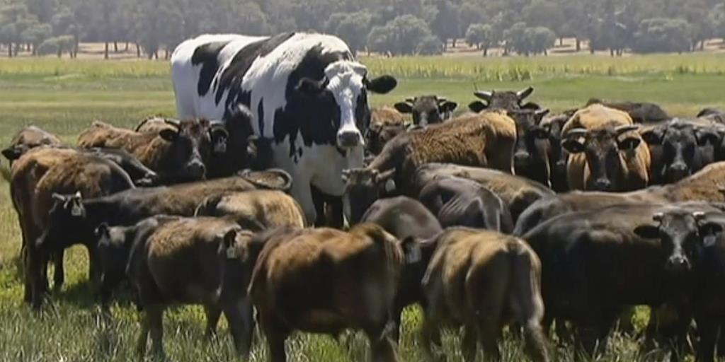 オーストラリアで「巨大牛」が見つかる →雄牛は「ニッカーズ」と名付けられており、体高194センチ、重量約1・4トン。あまりの巨大さから屠殺を逃れたそうです。