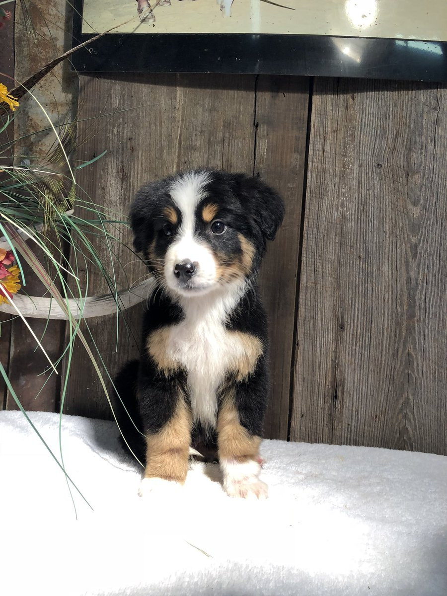 Bernese Mountain Dog Border Collie Mix