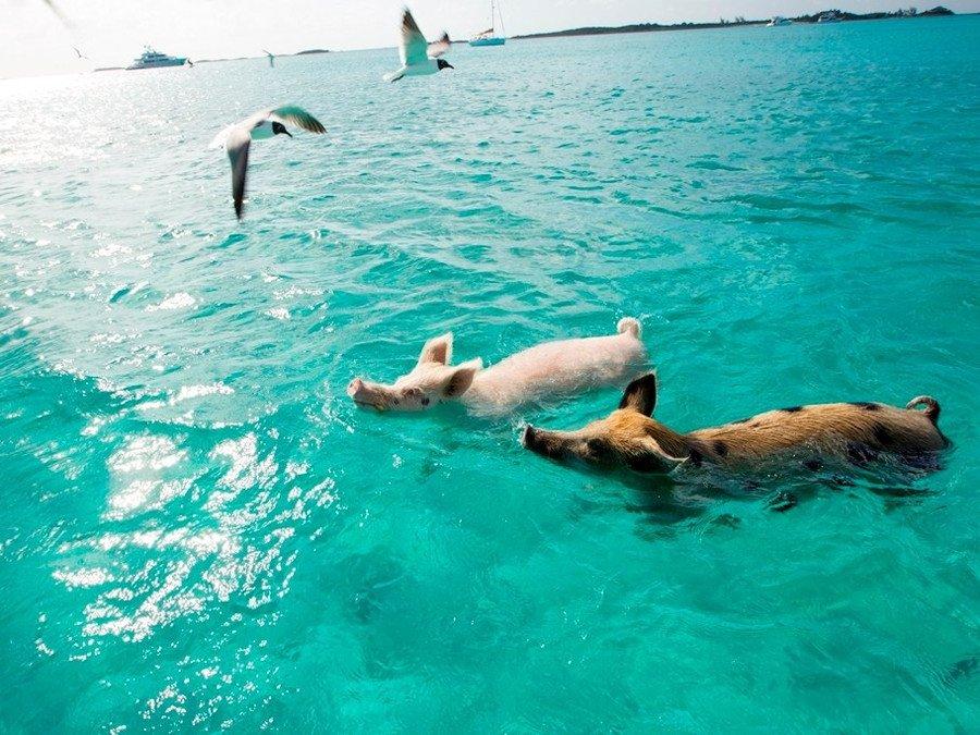 透明な海でブタさんと泳ぐ! カリブ海の無人島へ - https://t.co/1DIG4bd75s #Ovo #カリブ海 #ツアー #ビッグメジャーケイ #ブタ #旅行 #海外