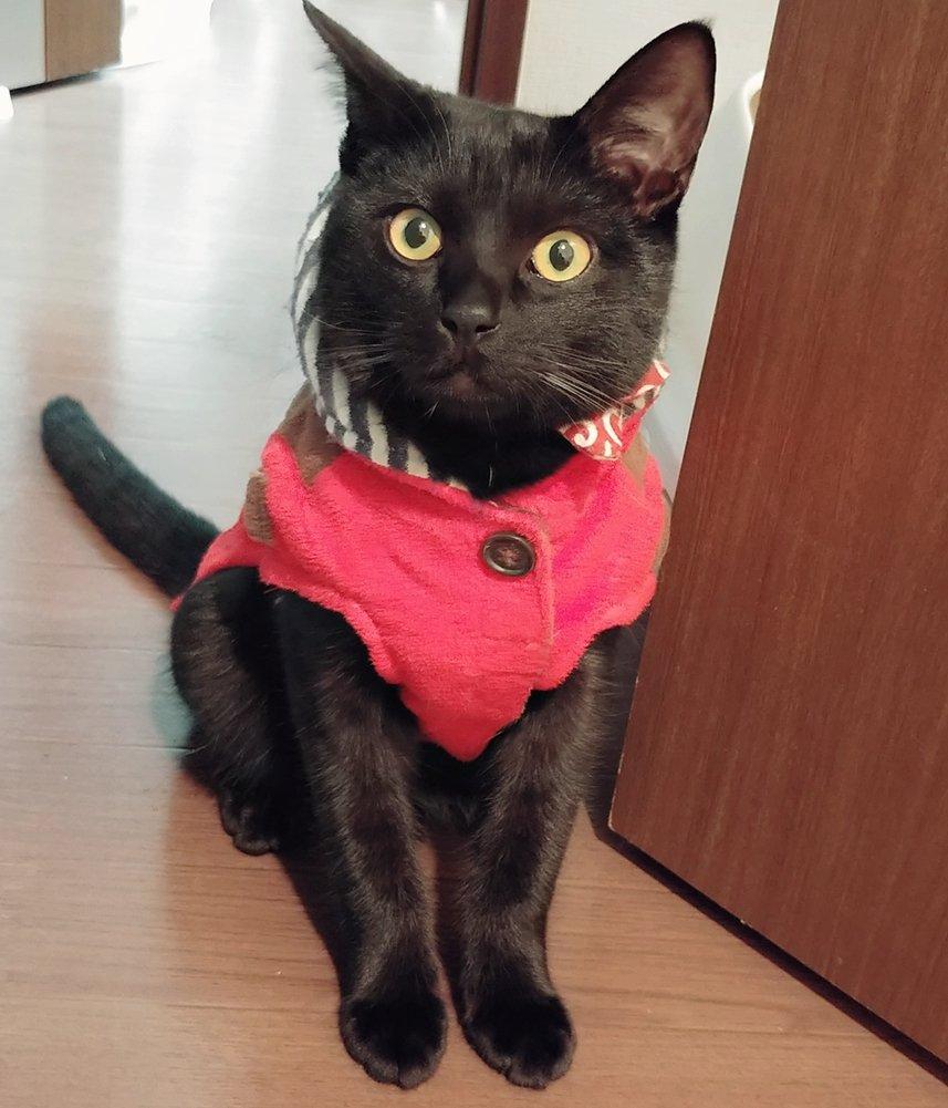 225日目。定期的に首輪を外してサイズ合わせて装着させようとすると、さも当然といった態度で首を出して待つ黒猫。服着させてもらう貴族かよ、と内心ツッコミ。また、配偶者が昔購入した服を引っ越しの際に見付けたので、折角なので着せてみたら妙に機嫌が良くなっていた。気に入ったのか…?