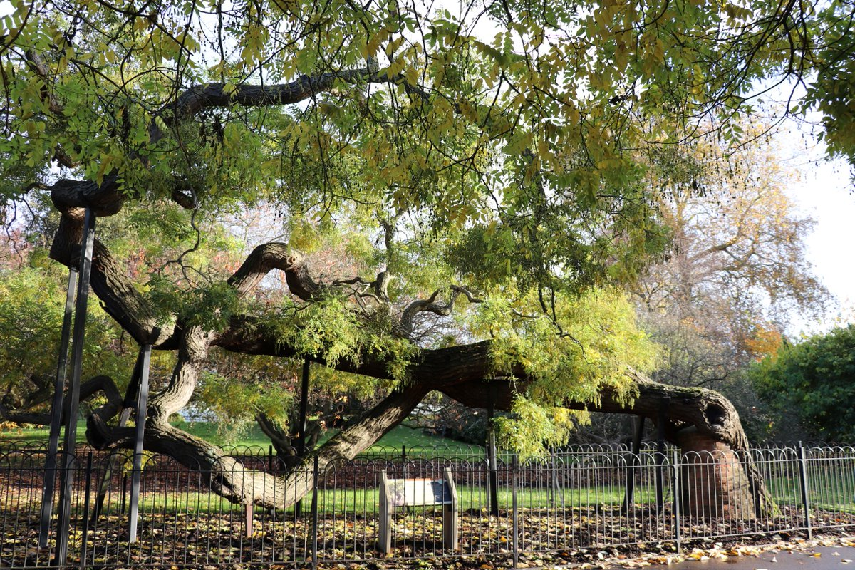 Kew Gardens Ar Twitter Planted In 1762 Our Japanese Pagoda Tree