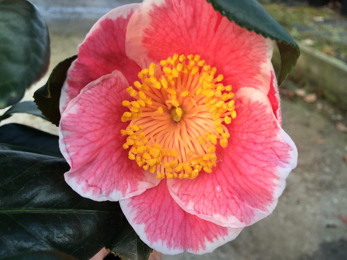 Camellia japonica Sanpei Tsubaki