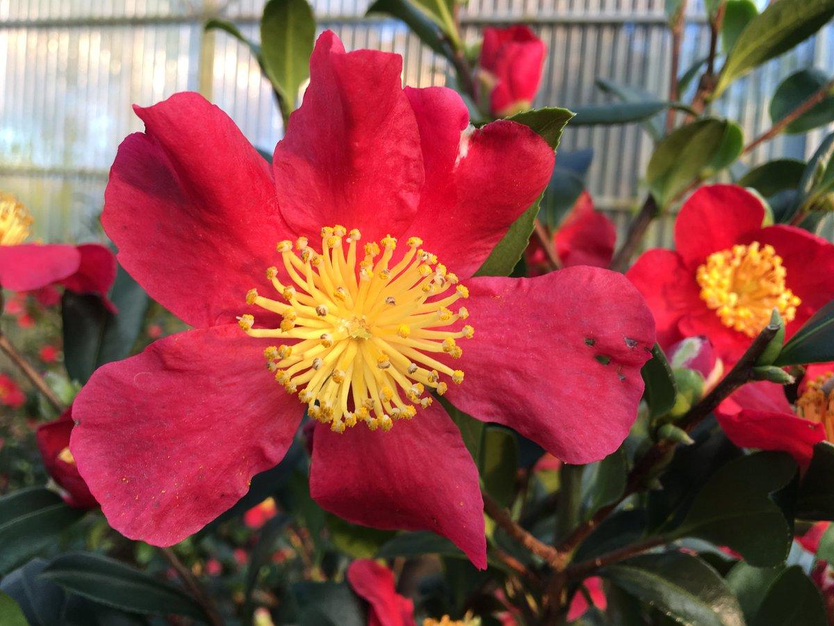 Camellia sasanqua Yuletide