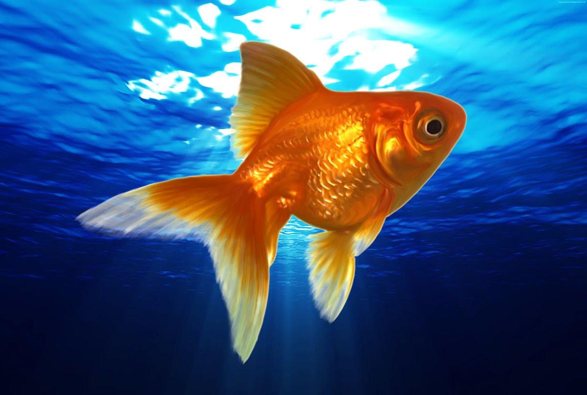 Картинки золотых рыбок рыбок красивые