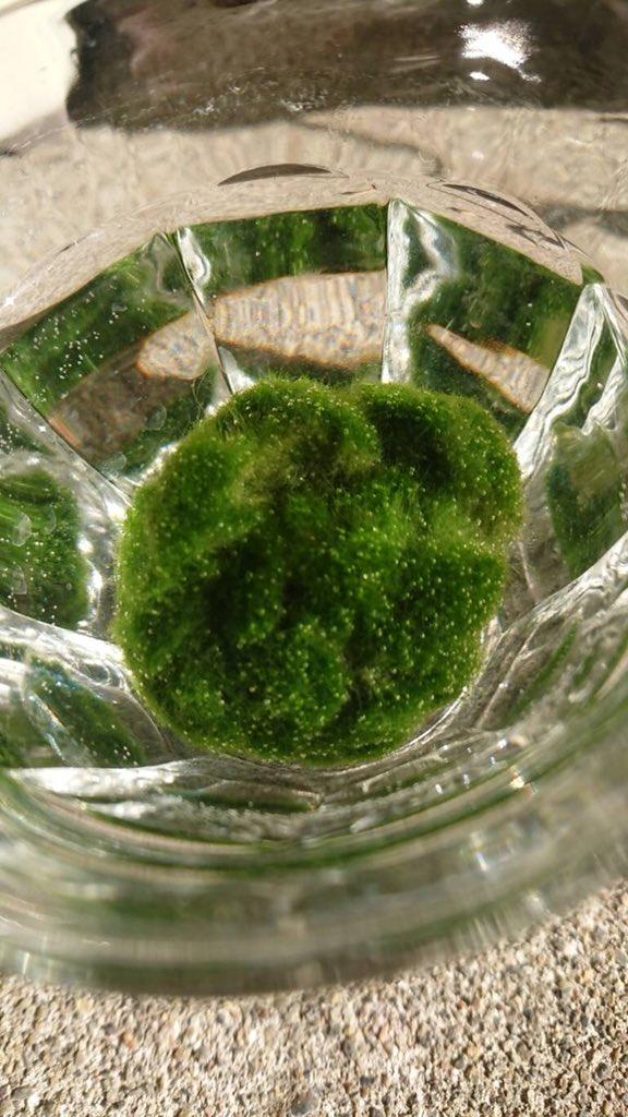 みなさまありがとうございます。我がアトリエのおはぎこと藻改めナイロンたわしですが今日も元気に光合成してます。(アトリエメンバー撮影)