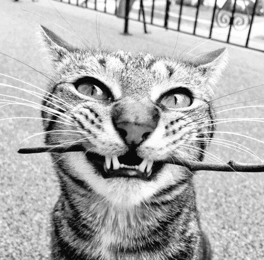 RT @Marydrina: #blackandwhitephotography #cat #chat #bw #noiretblanc #monochrome Good morning @RabalFrancesco https://t.co/rOc9vLjkw9