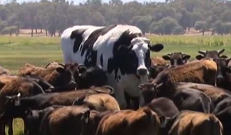 【動画】大きすぎて命拾いしたオーストラリアの巨大ホルスタイン……普通の牛の2倍程度に成長し、大きすぎて食肉処理場を通過できなかった https://t.co/tKd0QOlZEa #動物 #オーストラリア #サイエンス