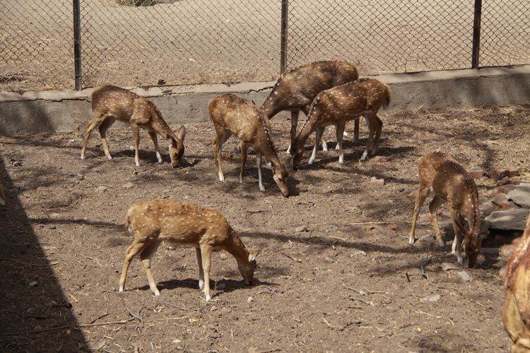 Street dogs enter Sayaji baug zoo in Vadodara, kill 6 black-bucks