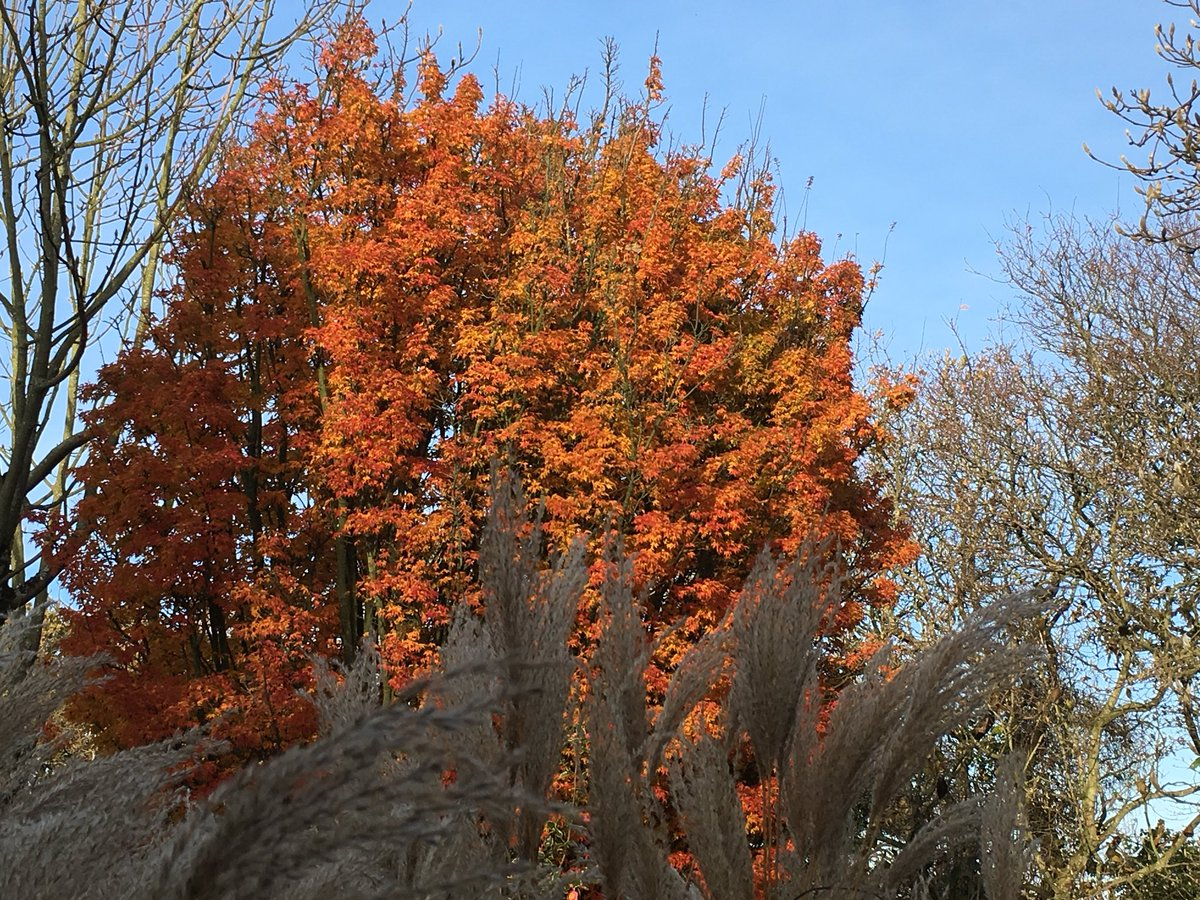 Acer Crippsii et Miscanthus