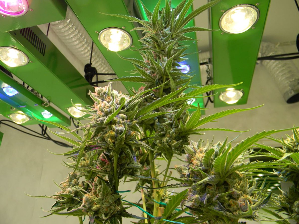 @greenfusionledfamily is SO excited to find out the winners of the#growclassic2018 hosted by @grow_magazineThe #strain is #electricdogshit #growers #CompetitionTime #CannabisCommunity #CannaFam #news #CannabisFact #ledgrown #ledgrow #ledgrower #ledgrowlight <br>http://pic.twitter.com/gAdjjyNd1q