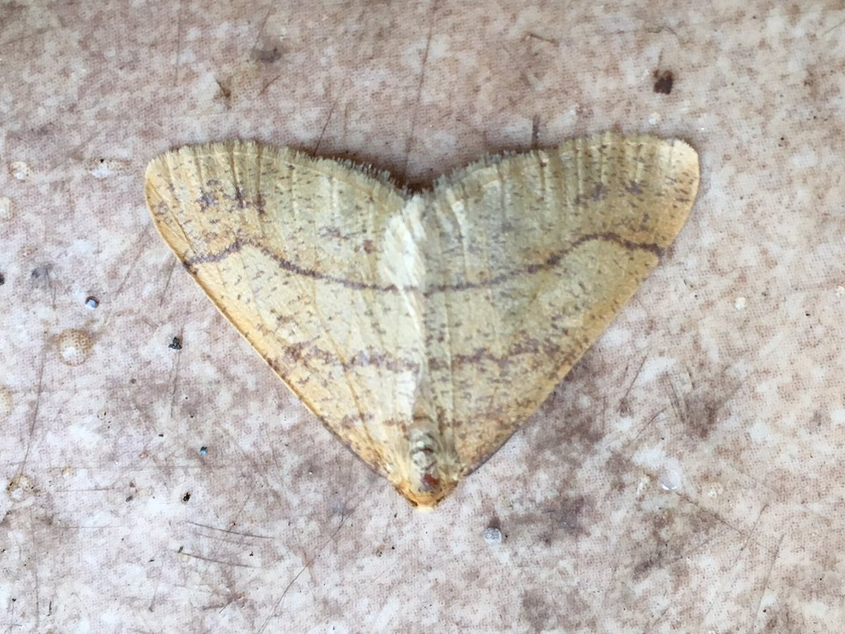 @JLowenWildlife Me too. My 100th species in the garden since starting at the end of july