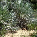 American botanist Sereno Watson (1826-1892) was born #OTD. Appointed by Asa Gray, he worked in the Herbarium of Harvard University from 1873 until his death. His namesake #palm is Serenoa repens. Bonus points: Did you spot the gopher #tortoise? #Arecaceae #TropicalBotany