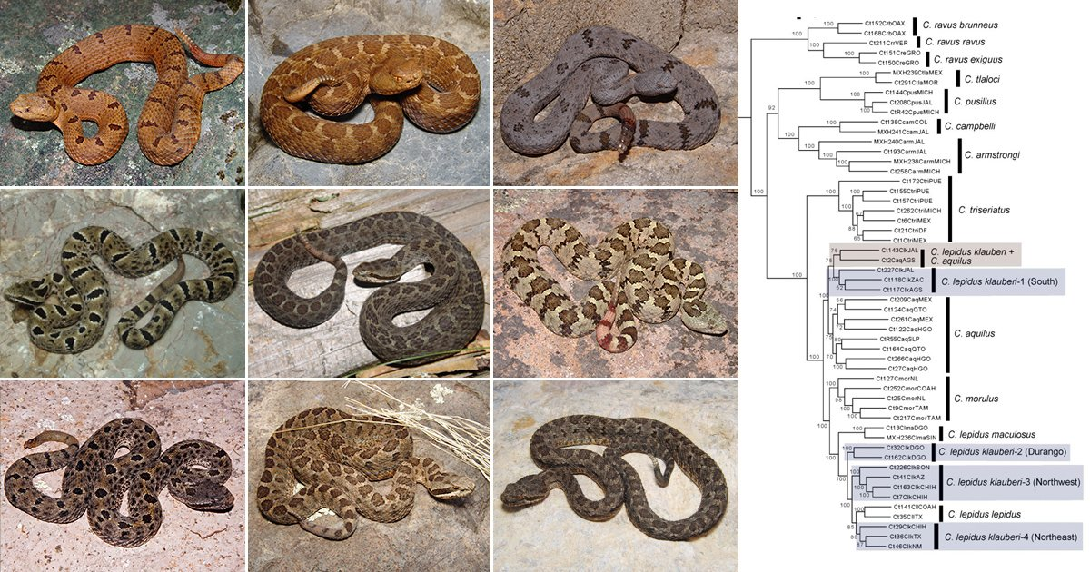 Research by Christopher Blair, Rob Bryson (@phylobiogeo), Charles Linkem, David Lazcano, John Klicka (@odlaasil), and John E. McCormack reveals cryptic rattlesnake diversity in the Mexican highlands. The full article is available here: herp.mx/pubs/2018-Blai…