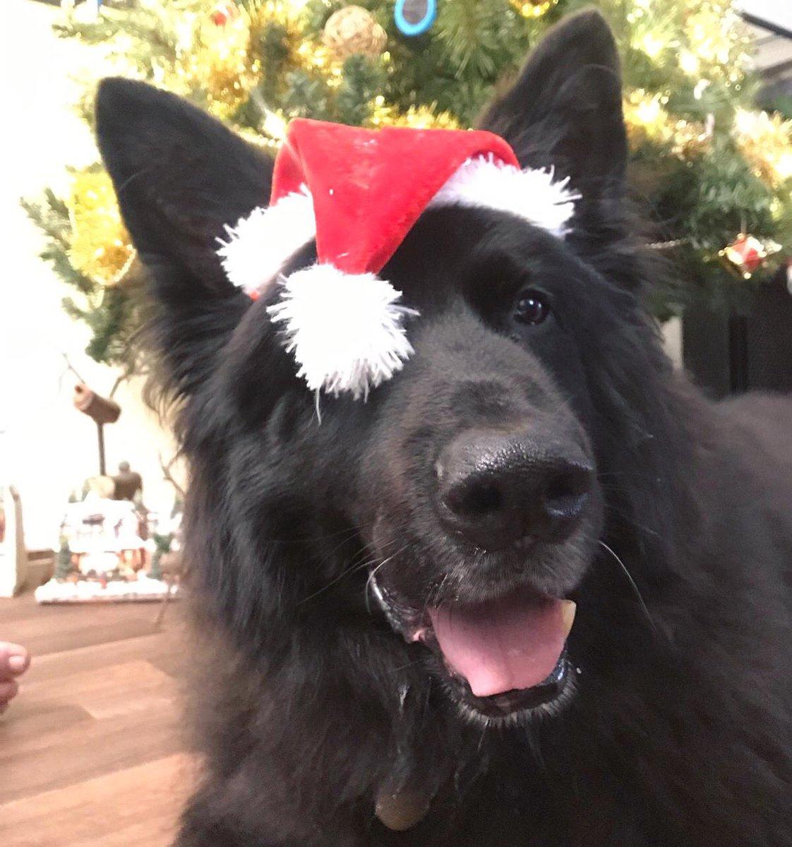 We're gonna need a bigger hat 🎅🏻 #GermanShepherd #dogsoftwitter