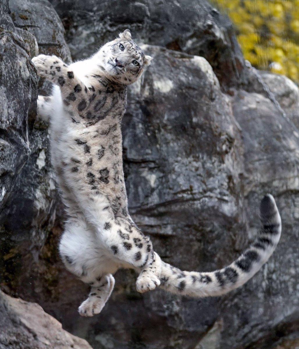崖登りジャンプをして、落下していくミミと目が合うの図。#ユキヒョウ #多摩動物公園