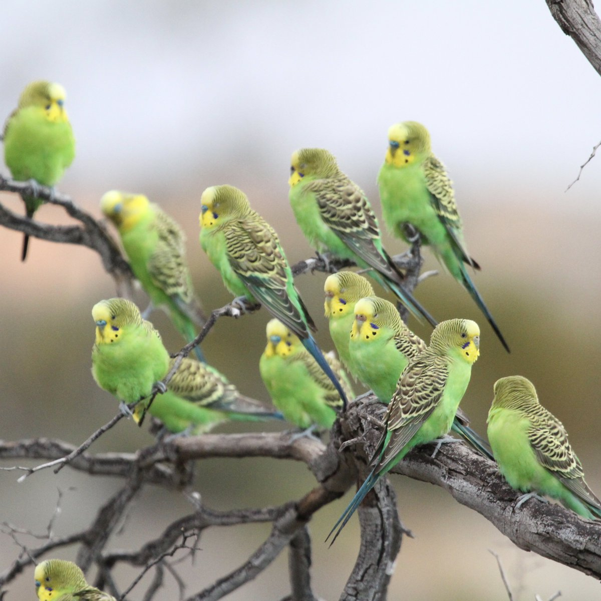New #PhD studentship project available @DurBiol to study climate impacts on Australian outback nomadic birds, with @RichFullerUQ. Some great fieldwork opportunities in amazing habitats. International applicants welcome.For details see community.dur.ac.uk/s.g.willis/Dur…