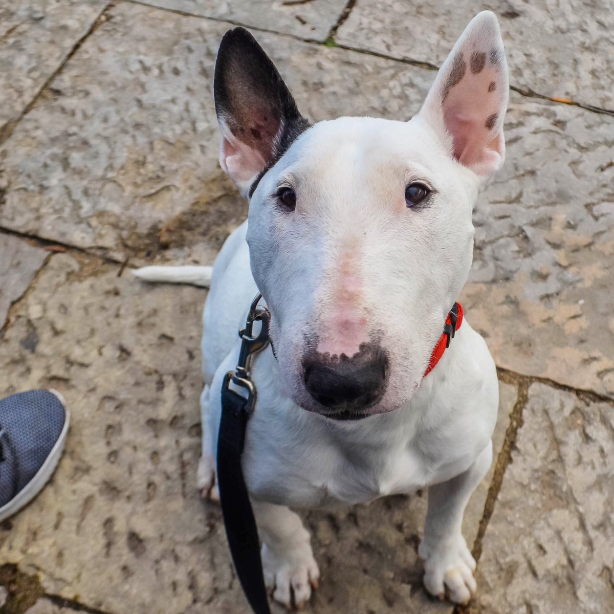 """""""Excuse me, but would you mind sharing a piece of your food with me? """" . . . . #dog #dogs #puppy #puppers #dogsofinstagram #dogsoftwitter #bullterrier #bullies #dogtreats #dogtravel #traveldog<br>http://pic.twitter.com/dGfz0Ptt3U"""