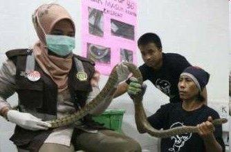 Ekspor 800 ekor ular Jali ke Cina